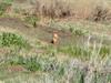 Prairie_dog_02